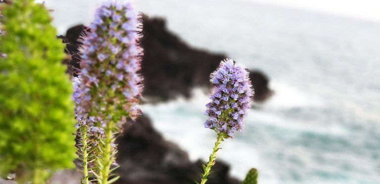 Pride of Madeira flower with the atlantic Ocean in the back