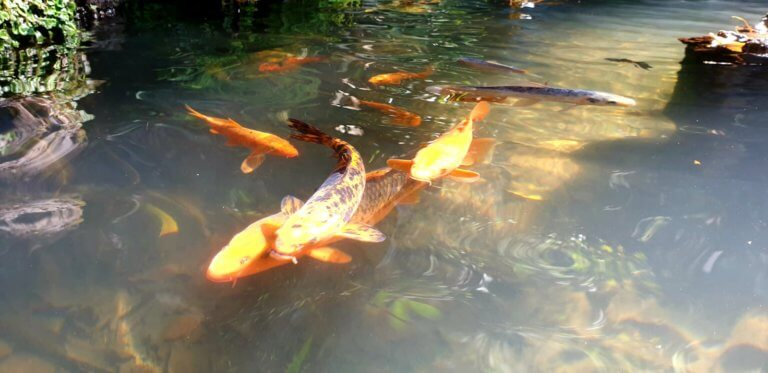 Koi Fish in a pont in the monte palace garden